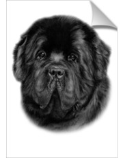 Newfoundland Charcoal Drawing
