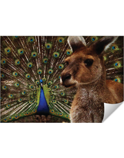 The Peacock and Mr Roo